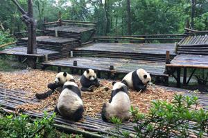 第102届春季糖酒会旅游推荐,成都大熊猫繁育研究基地怎么样